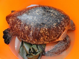 割綠藻去藤壺 小琉球綠蠵龜今重返大海
