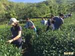 高雄田園饗宴推那瑪夏手作茶工坊 遊客上山體驗