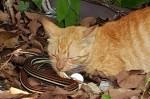 為母則強! 護幼貓  母貓與蛇大戰