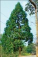 〈植物大觀園〉寶島之寶 台灣肖楠、香杉