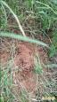 頭前溪河濱公園 發現紅火蟻