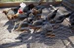 美30年最大禽流感趨緩  8州向台申請禽肉輸入解禁
