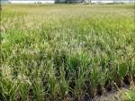 颱風造成白頭空包稻 苑裡1300公頃受損