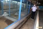 防疫!鱷魚不吃孓孑 飼養池3天就換水