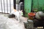 中市龍井東海里 友善街貓成效遭質疑