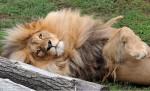 獅子界時尚型男! 有一頭漂亮「秀髮」