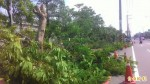 躲蚊子?南市安南果菜市場鳳凰樹全被斷頭