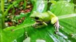 諸羅樹蛙公園現蹤 荒保協會按讚