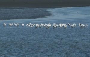 黑面琵鷺飛抵七股度冬 國慶日破200隻