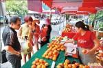 連3年減產 南庄甜柿回穩上市