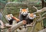 雙胞胎見客 小小貓熊萌翻了