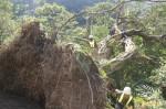 颱風吹垮平溪300年老榕 樹醫團隊搶救