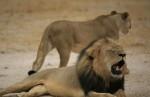 美牙醫竟是合法獵殺獅王 辛巴威決定不起訴