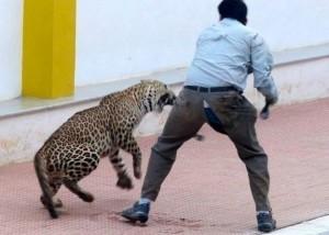 印度野生公豹闖入學校 咬傷6人