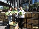 滿滿的高麗菜 新北團購近3500箱