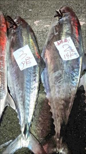 白腹魚「貴」氣逼人 每公斤6500元
