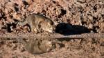 巨型野貓年殺千隻獵物 澳洲要消滅200萬貓口