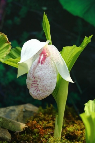 台灣特有種蘭花  卻美到瀕臨絕種