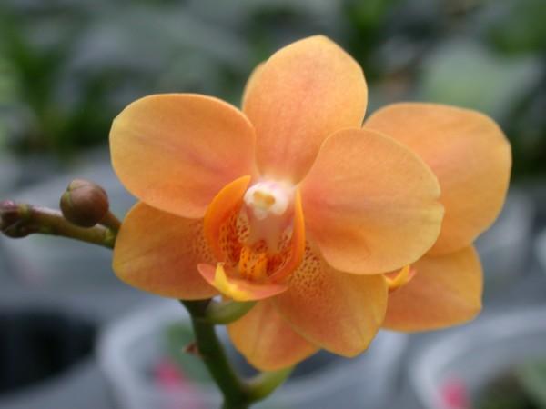 高雄改良場研發出純橘色蝴蝶蘭新品種「橘色女孩」,近日獲英國皇家園藝學會成功登錄為新品種。(高雄改良場提供)