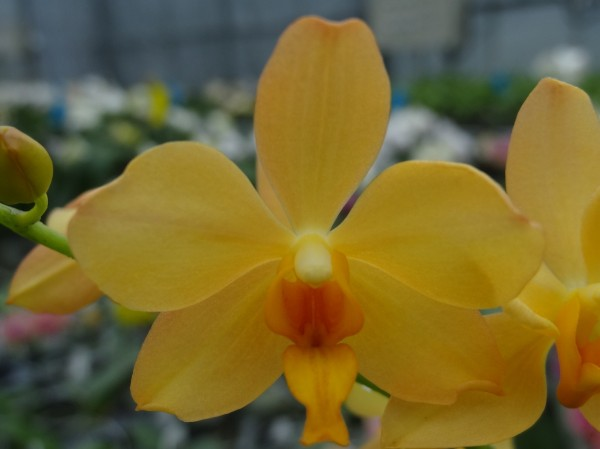 高雄改良場研發出純橘色蝴蝶蘭新品種「橘色維納斯」,近日獲英國皇家園藝學會成功登錄為新品種。(高雄改良場提供)
