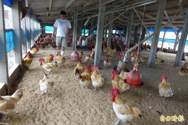 姚量議返回線西老家養「海口雞」,低密度飼養,每隻雞都是精選的「健美猛男」。(記者劉曉欣攝)