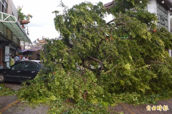 台中市編號4的珍貴老榕樹倒塌。(記者張瑞楨攝)
