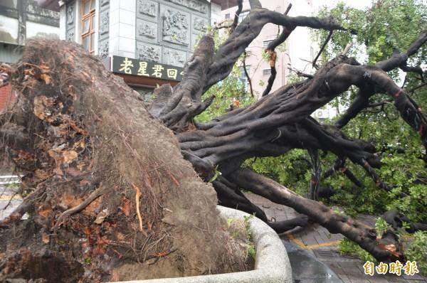 圖中可見榕樹的根系被困住而腐爛。(記者張瑞楨攝)