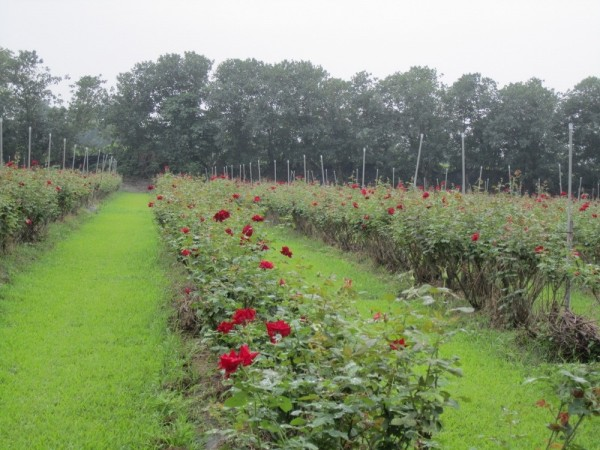 有機玫瑰盛開,屏東大花農場11月起開放,場主楊添得(左)是屏縣玫瑰達人。(圖由屏東縣政府農業處提供)