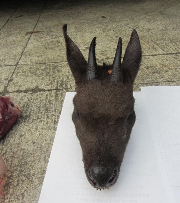 保育類台灣野山羊慘遭盜獵砍頭。(記者余雪蘭翻攝)