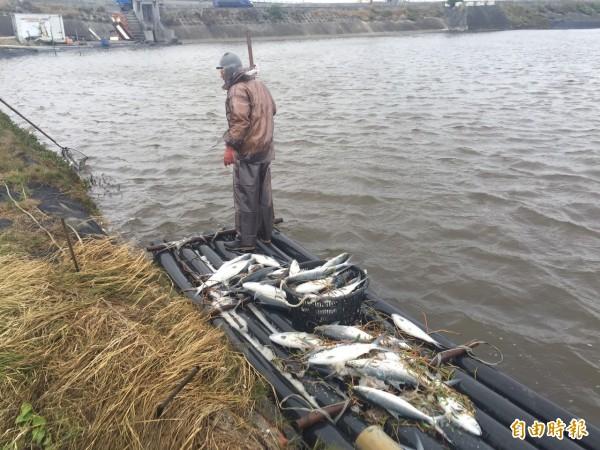漁民忙著打撈遭凍死的虱目魚。(記者蔡宗勳攝)