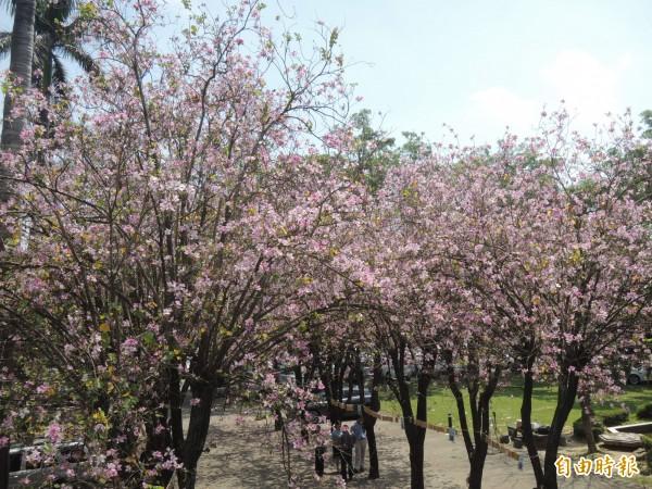 虎高校園印度櫻花盛開,燦爛的花朵彷彿為這對準新人見證。(記者廖淑玲攝)