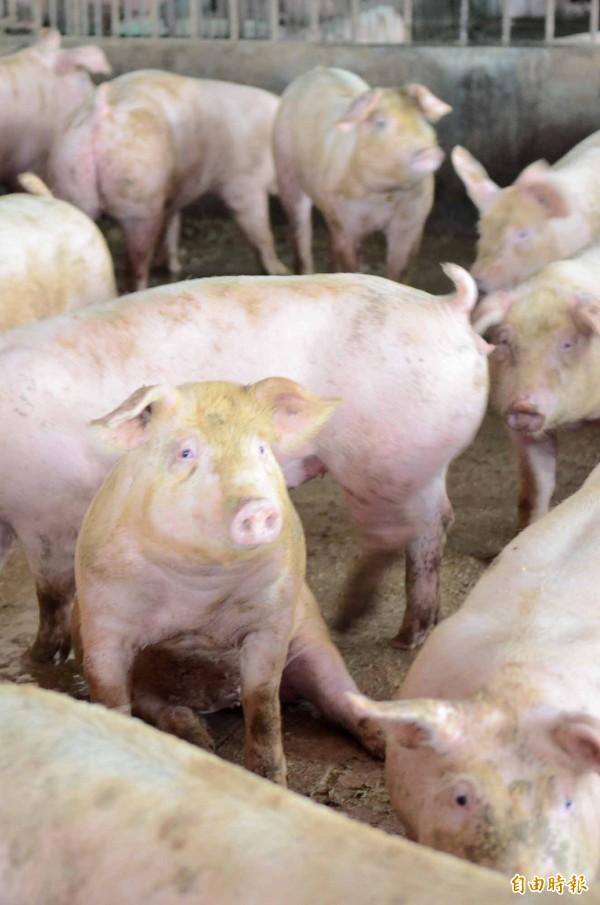 準農委會主委曹啟鴻在媒體專訪中談開放瘦肉精美豬話題,引起各方熱議,屏東養豬協會理事長潘長成更痛批曹不適任。(記者邱芷柔攝)