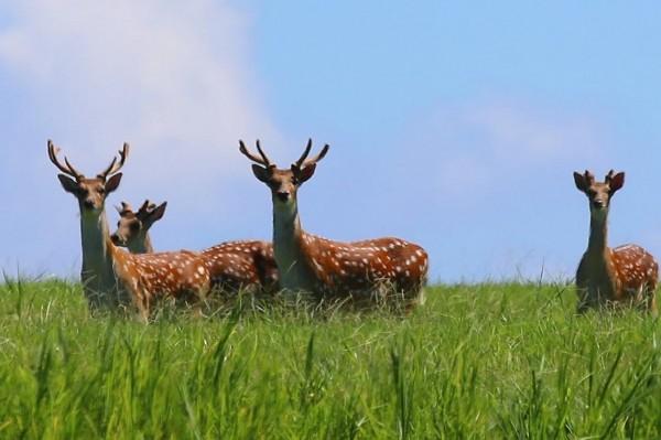 「捕獵梅花鹿 出草」的圖片搜尋結果