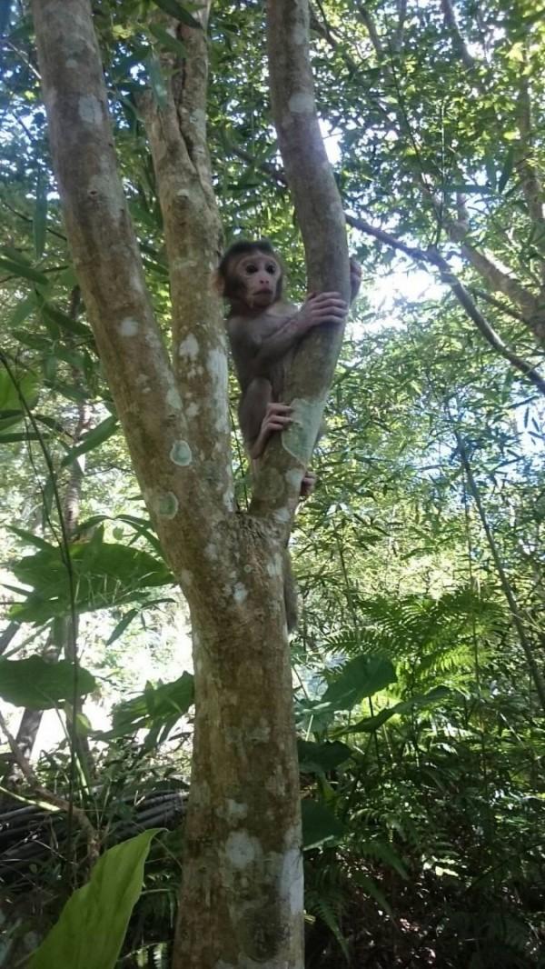 鄰近樹叢出現猴群身影及呼喊聲,似乎在呼喚小猴與母猴回歸,小猴野放後,隨即跟著猴群回到山林。(動保處提供)
