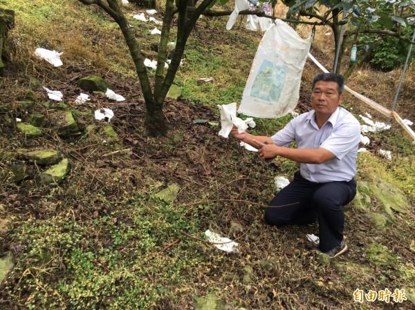 南庄鄉農會總幹事陳乾安說,柿園地上滿滿的白色袋子都是猴子惹的禍。(記者許展溢攝)
