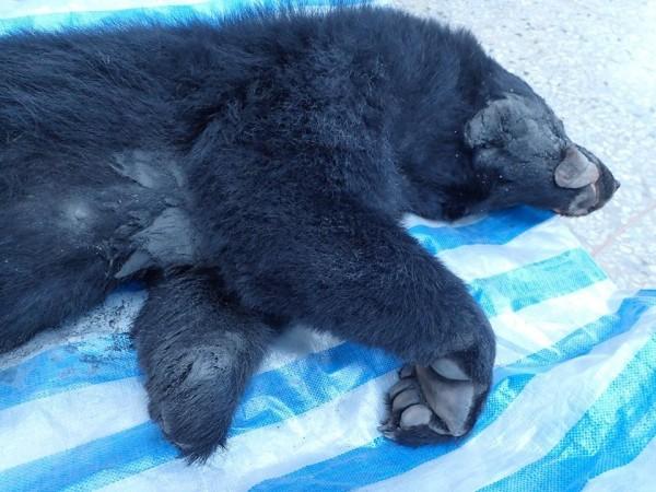 黑熊左前掌斷掌、右前掌短少第5趾,黃美秀認為牠是被陷阱所害。(擷取黃美秀臉書)