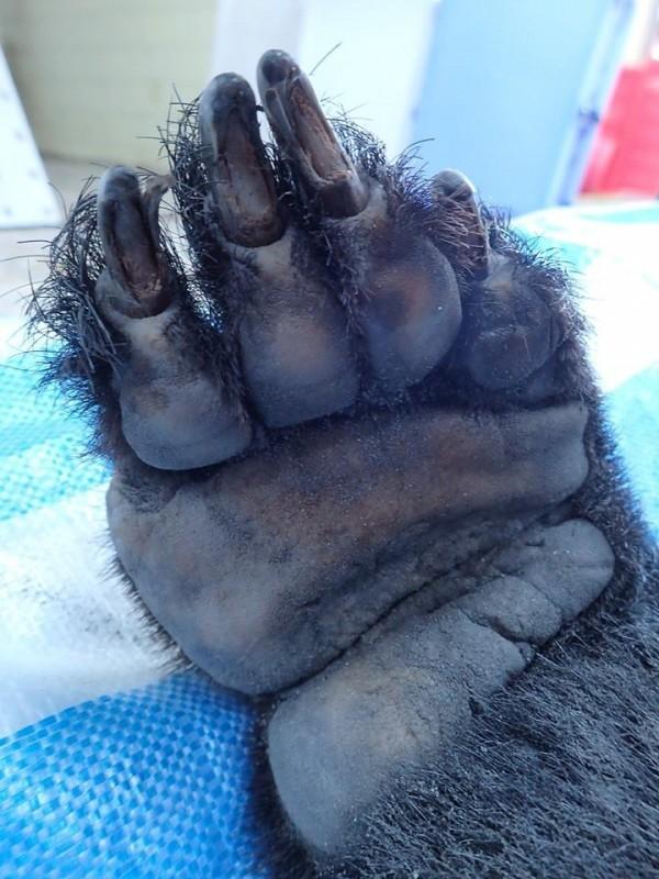 死去的黑熊,右前掌少第5趾。(黃美秀臉書)
