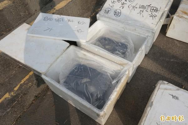農委會水產所今日在蘭陽溪河口,放流500公斤亞成鰻,期望復育鰻苗資源。(記者林敬倫攝)