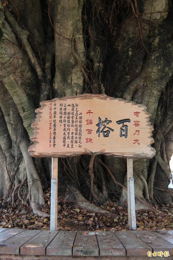 三條國小校樹「百榕」有百年歷史。(記者陳冠備攝)