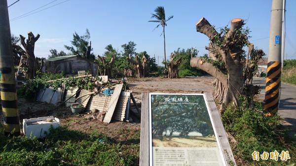 榕園綠屋的11棵榕樹被修剪。(記者楊金城攝)