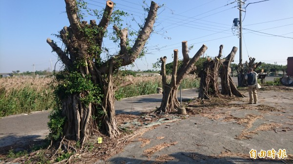 北門井仔腳景點榕園綠屋的40年榕樹剪成這樣。(記者楊金城攝)