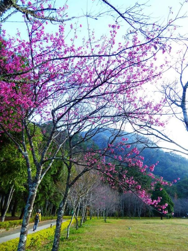 仁愛鄉奧萬大國家森林遊樂區山櫻花較往年提早半個月開花,為園區添新妝。(圖由奧萬大森林遊樂區提供)