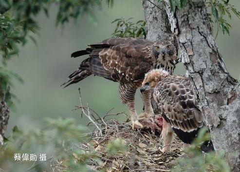 熊鷹屬一級保育類動物,體型壯碩。(取自台灣猛禽研究會,蔡偉勛攝)