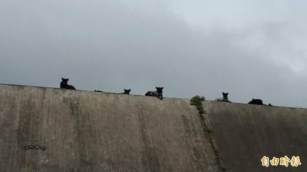 大安溪畔河床流浪狗齊聚。(記者張軒哲攝)
