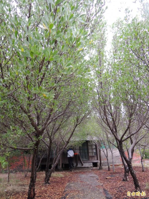 中石化宿舍區欖李紅樹林自然長成,加上古樸的建築,成為年輕人尋幽訪勝的熱門景點。(記者蔡文居攝)