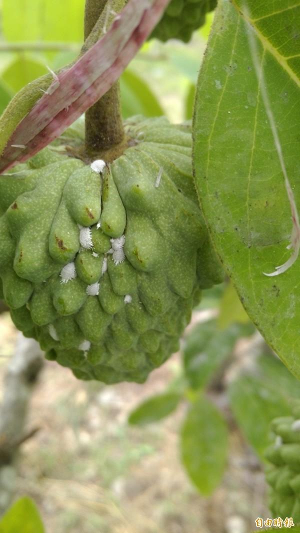 白色的粉介殼蟲是釋迦常見蟲害。(記者黃明堂攝)