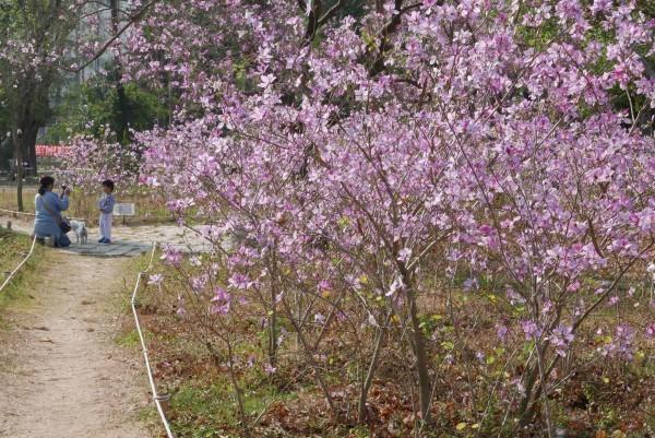 台南公園羊蹄甲進入盛開期。(晁瑞光提供)