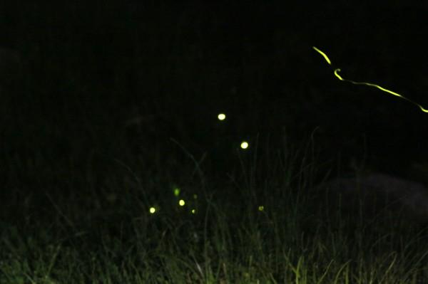 太平苗圃成功復育螢火蟲,點點螢光閃耀指日可待。(李志穎提供)