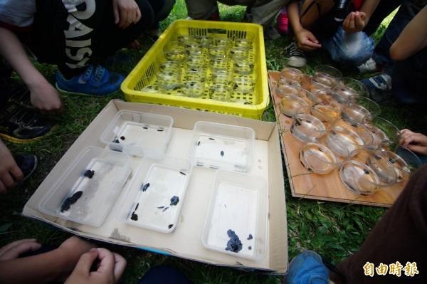 全世界的螢火蟲中,只有十種的幼蟲是在水裡成長,這次復育的黃緣螢便是其中之一。(記者何宗翰攝)