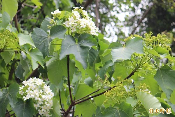 新竹縣今年的桐花晚開約半個月,樹梢上花開得少,但是花苞已經滿載,可望下週就會陸續盛開。(記者黃美珠攝)